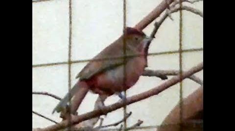 Roter Kronfink (Coryphospingus cucullatus) oder Haubenfink im Zoo Augsburg - 04. November 2013