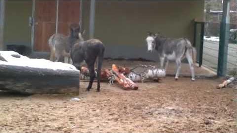 Zwergesel (Equus asinus domesticus) im Zoo Augsburg - 5. Dezember 2012