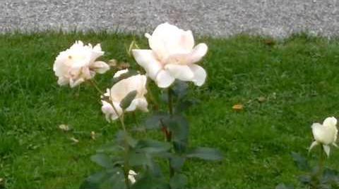"""Edelrose """"Roy Black"""" im Botanischen Garten Augsburg - 14.September 2013"""