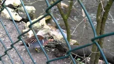 Baikalente (Anas formosa, Syn. Nettion formosum) im Zoo Augsburg - 20. April 2013