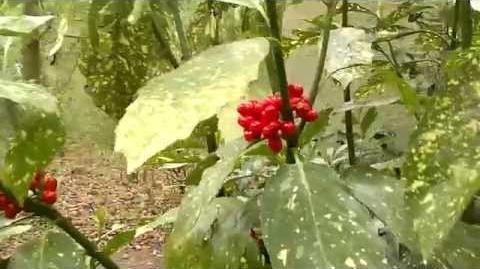 Japanische Aukube (Aucuba japonica) mit roten Beeren im Zoo Augsburg - 08. April 2014