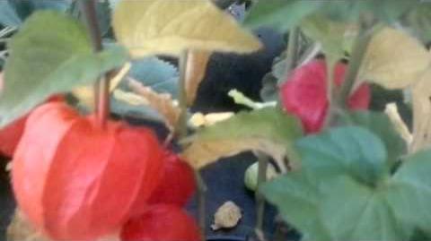 Lampionblume (Physalis alkekengi) - Augsburg - 30. September 2013