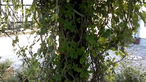 Fingerblättrige Akebie (Akebia quinata) im Botanischen Garten Augsburg - 05. September 2013