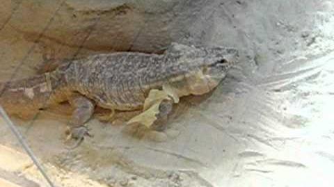 Nashornleguan (Cyclura cornuta) 22. Januar 2012 - Haut hängt noch dran