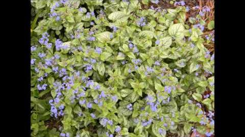 """FOTOVIDEO Kaukasus-Vergißmeinnicht """"Jack Frost"""" (Brunnera Macrophylla) im Bot. Garten Augsburg"""