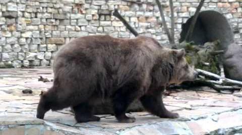Europäischer Braunbär (Ursus arctos arctos) im Zoo Augsburg - 20. April 2013