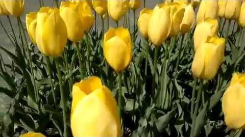 """Einfachblühende späte Tulpen Mrs. John T. Scheepers"""" (Tulipa) im Botanischen Garten Augsburg - 24. April 2014"""