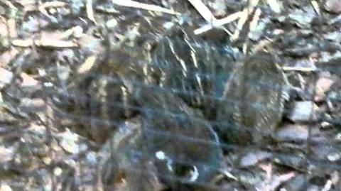 Zwergwachtel (Coturnix chinensis) (Männchen mit Küken) + (Pärchen mit Ei) im Zoo Augsburg - 26. Juni 2013