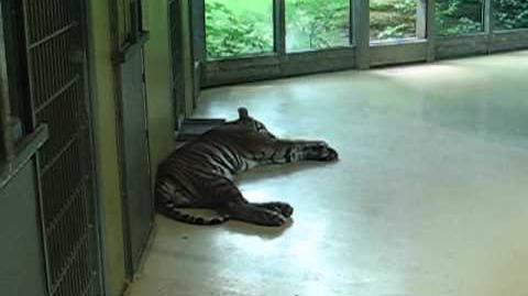 Sumatratiger (Panthera tigris sumatrae) im Zoo Augsburg - 02. Juni 2012