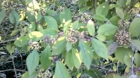 Chinesische Schönfrucht (Callicarpa giraldii) oder Liebesperlenstrauch im Bot. Garten Augsburg - 05. September 2013