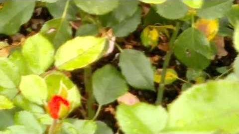 """Edelrosen """"Arosia"""" im Botanischen Garten Augsburg - 14. September 2013"""