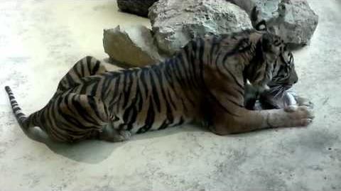 Sumatra-Tiger (Panthera tigris sumatrae) im Zoo Augsburg - 20. April 2013