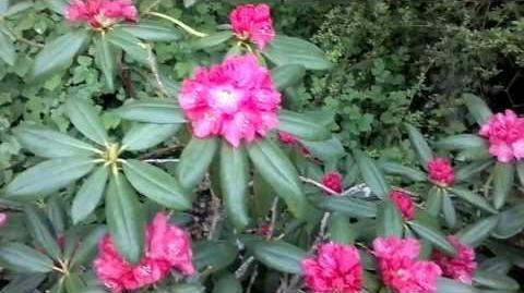 """Alpenrose """"Barmstedt"""" (Rhododendron-Yakustimarum-Hybriden) im Botanischen Garten Augsburg - 21. Mai 2013"""