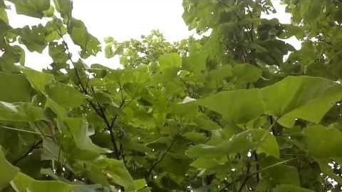 Blauglockenbaum (Paulownia tomentosa) im Botanischen Garten Augsburg - 29. August 2013