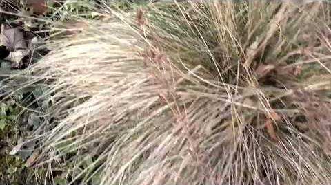 Echter Schaf-Schwingel (Festuca ovina L.) im Botanischen Garten Augsburg - 08. Januar 2014