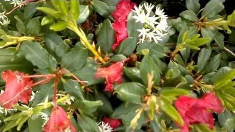 """Alpenrose """"Baden-Baden"""" (Rhododendron forrestii) im Botanischen Garten Augsburg - 21. Mai 2013"""