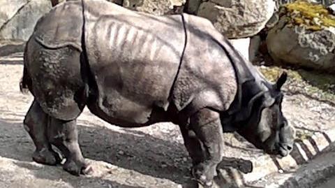 Panzernashorn oder Indisches Panzernashorn (Rhinoceros unicornis) im Zoo München - 22. Februar 2014