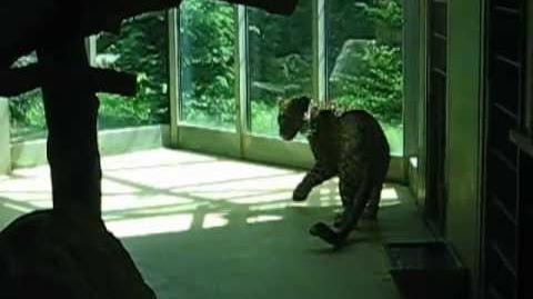 Persischer Leopard (Panthera pardus saxicolor) im Zoo Augsburg - 14. Juni 2012
