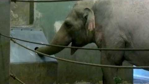 Elefant trinkt aus Rüsselbox - Zoo Augsburg - 20. Juli 2013