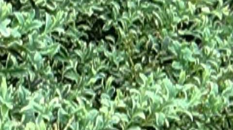 """Buchsbaum """"Marginata"""" (Buxus sempervirens L.) im Botanischen Garten in Augsburg - 21. Mai 2012"""