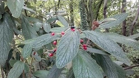 Runzelblättriger Schneeball (Viburnum rhytidophyllum) - Lueginslandbastion Augsburg - 13. Oktober 2013