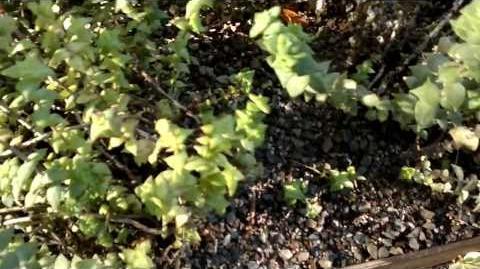 Crassula perforata im Botanischen Garten Augsburg - 05. September 2013
