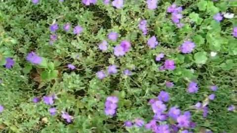 """Blaukissen """"Blaumeise"""" (Aubrieta-Hybriden) im Botanischen Garten in Augsburg - 5. Juni 2012"""