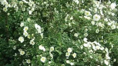 Bibernell-Rose (Rosa spinossima L.) im Botanischen Garten in Augsburg - 21. Mai 2012
