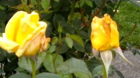 "Edelrose ""Berolina"" - ADR-Rose 1986 - im Botanischen Garten Augsburg - 14. September 2013"
