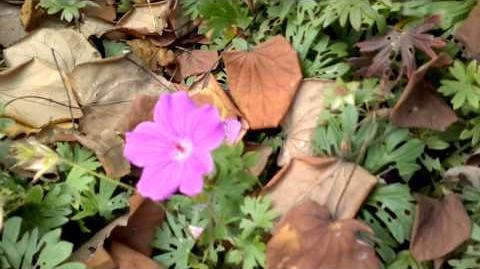 """Blut-Storchschnabel """"Tiny Monster"""" (Geranium sanguineum) im Botanischen Garten Augsburg - 26.Oktober 2013"""