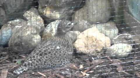 Kaptriel hockt brütend am Boden im Zoo Augsburg - 20. Februar 2014