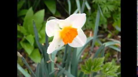 """FOTOVIDEO Kleinkronige Narzissen """"Barrett Browning"""" (Narcissus) im Botanischen Garten Augsburg"""