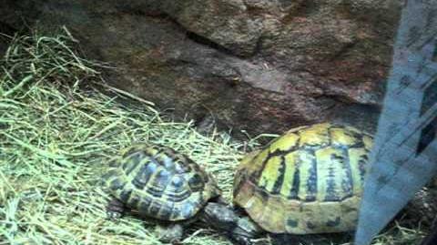 Griechische Landschildkröte (Testudo hermanni) 22. Januar 2012 - Zusammen durchs Streu