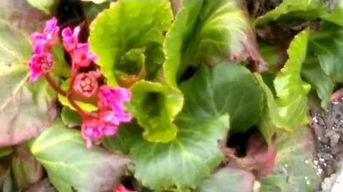 """Bergenia-Hybriden """"Rote Schwester"""" (Saxifragaceae) im Botanischen Garten Augsburg - 30. April 2013"""