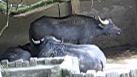 Wasserbüffel (Bubalus bubalus) im Zoo Augsburg - 18. Mai 2012