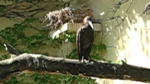 Hammerkopf (Scopus umbretta) im Zoo Augsburg - 18. Mai 2012