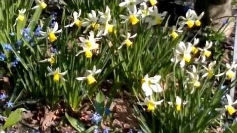 """Alpenveilchen-Narzisse """"Jack Snipe"""" (Narcissus cyclamineus) im Botanischen Garten Augsburg - 28. März 2014"""