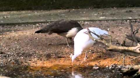 Pfauenhenne & Weißer Pfau beim Fressen/Trinken im Zoo Augsburg - 01. April 2014