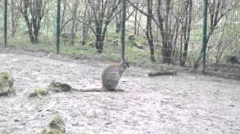 Bennett-Känguru (Macropus rufogriseus) im Zoo Augsburg - 20. April 2013
