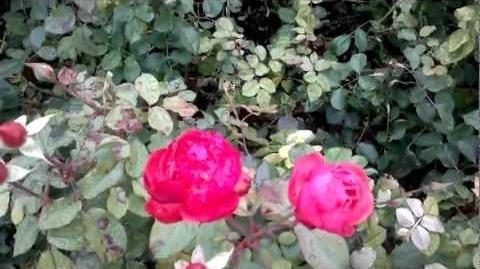 Bad Wörishofen, Beetrosen (Rosaceae) im Botanischen Garten Augsburg - 21. November 2012