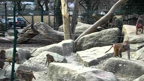 Mantelpavian (Papio hamadryas) im Zoo Augsburg - 18. März 2012