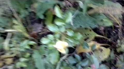 "Bodendeckerrose ""Celina"" - Noack 1997, ADR-Rose 1999 im Botanischen Garten Augsburg - 15. November 2013"