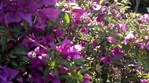 Bougainville (Bougainvillea x cultivars)(Blüte) im Botanischen Garten Augsburg - 26. Juli 2013