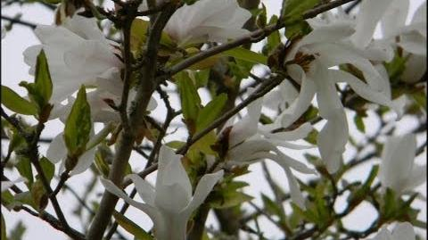"FOTOVIDEO Magnolie ""Merrill"" (Magnolia x loebneri) im Botanischen Garten Augsburg"