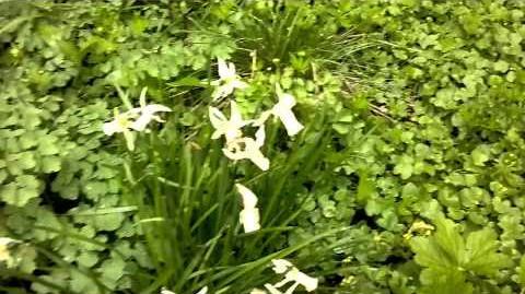 """Alpenveilchen-Narzisse """"Jenny"""" (Narcissus cyclamineus) im Botanischen Garten Augsburg - 19. April 2014"""