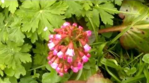 """Bergenia-Hybriden """"Oeschberg"""" (Saxifragaceae) im Botanischen Garten Augsburg - 30. April 2013"""