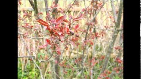 """FOTOVIDEO Zierapfel """"Red Sentinel"""" im Botanischen Garten Augsburg"""