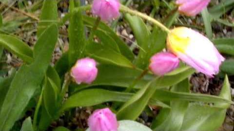 """Felsen-Tulpe """"Lilac Wonder"""" (Tulipa saxatilis) im Botanischen Garten Augsburg - 19. April 2014"""
