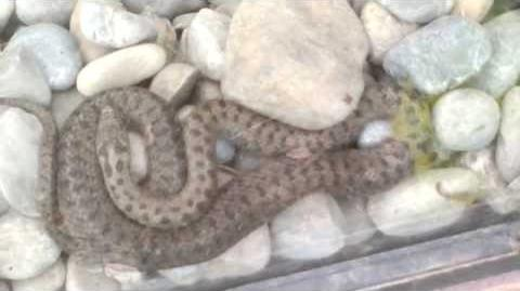 Schlingnatter (Coronella austriaca) im Zoo Augsburg - 04. Mai 2013