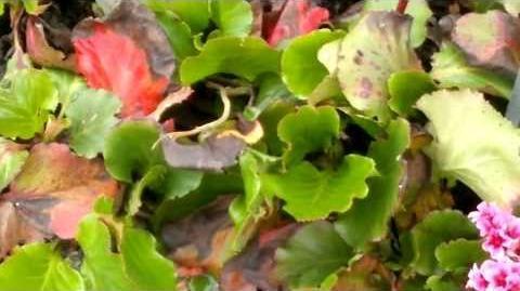 """Bergenia-Hybriden """"Abendglocken"""" (Saxifragaceae) im Botanischen Garten Augsburg - 30. April 2013"""